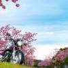 CD125T 夜明け前から河津桜を見に行ってきました